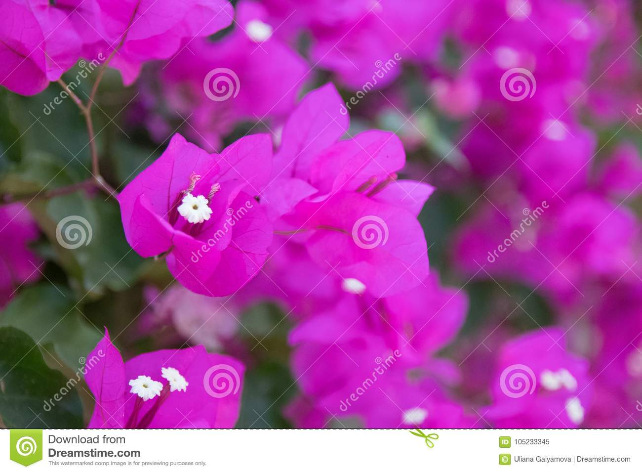 Bright Purple Flowering Plant With White Center Closeup Stock Image