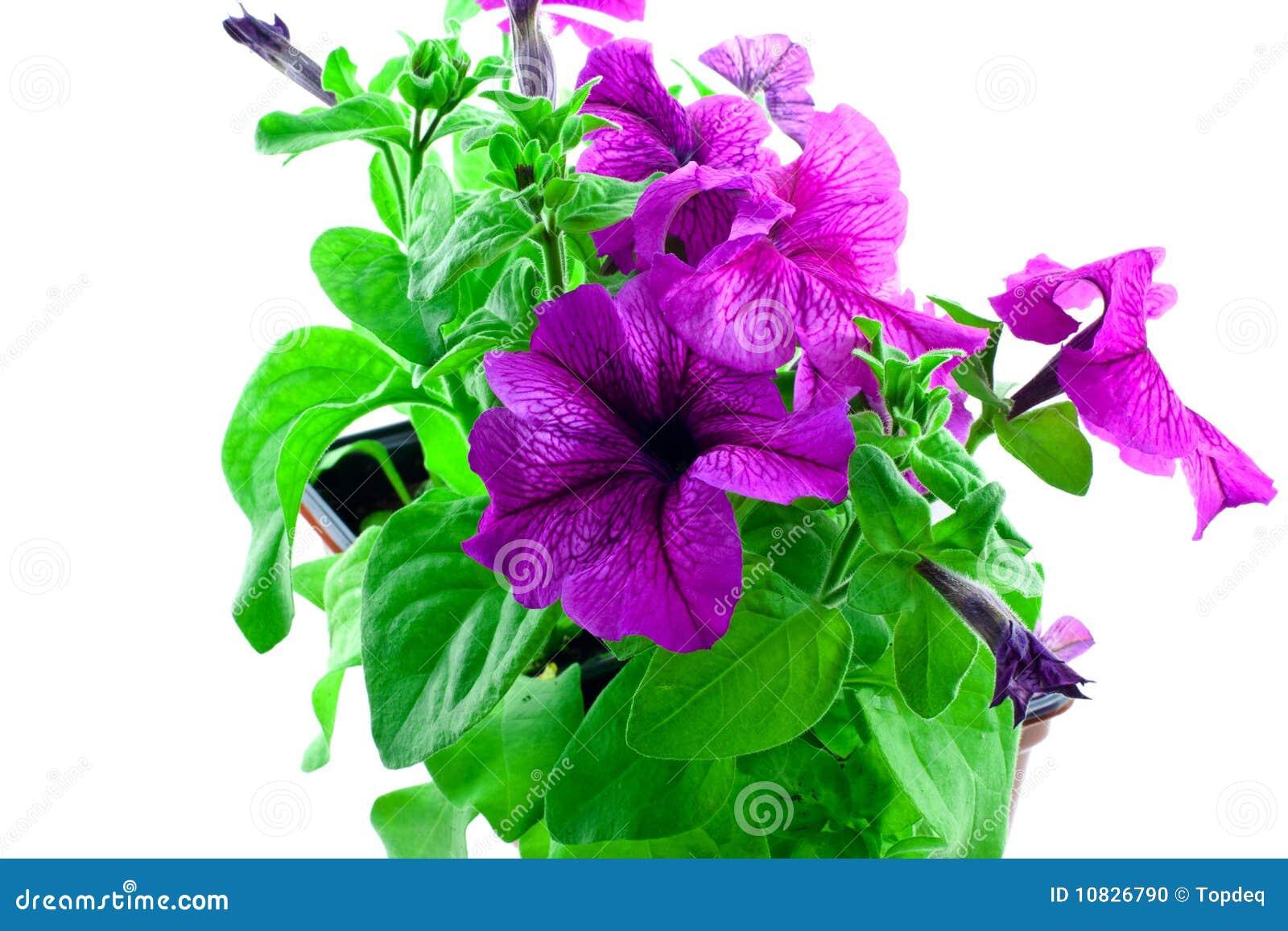 Bright purple petunia in plastic pots
