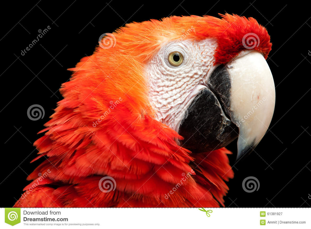 bright red bird with black wings