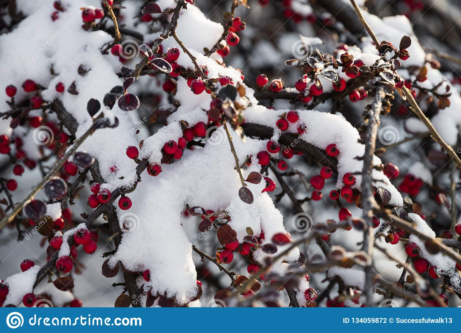 Bright Red Berries In The Snow In A Winter Sunny Day Stock Photo