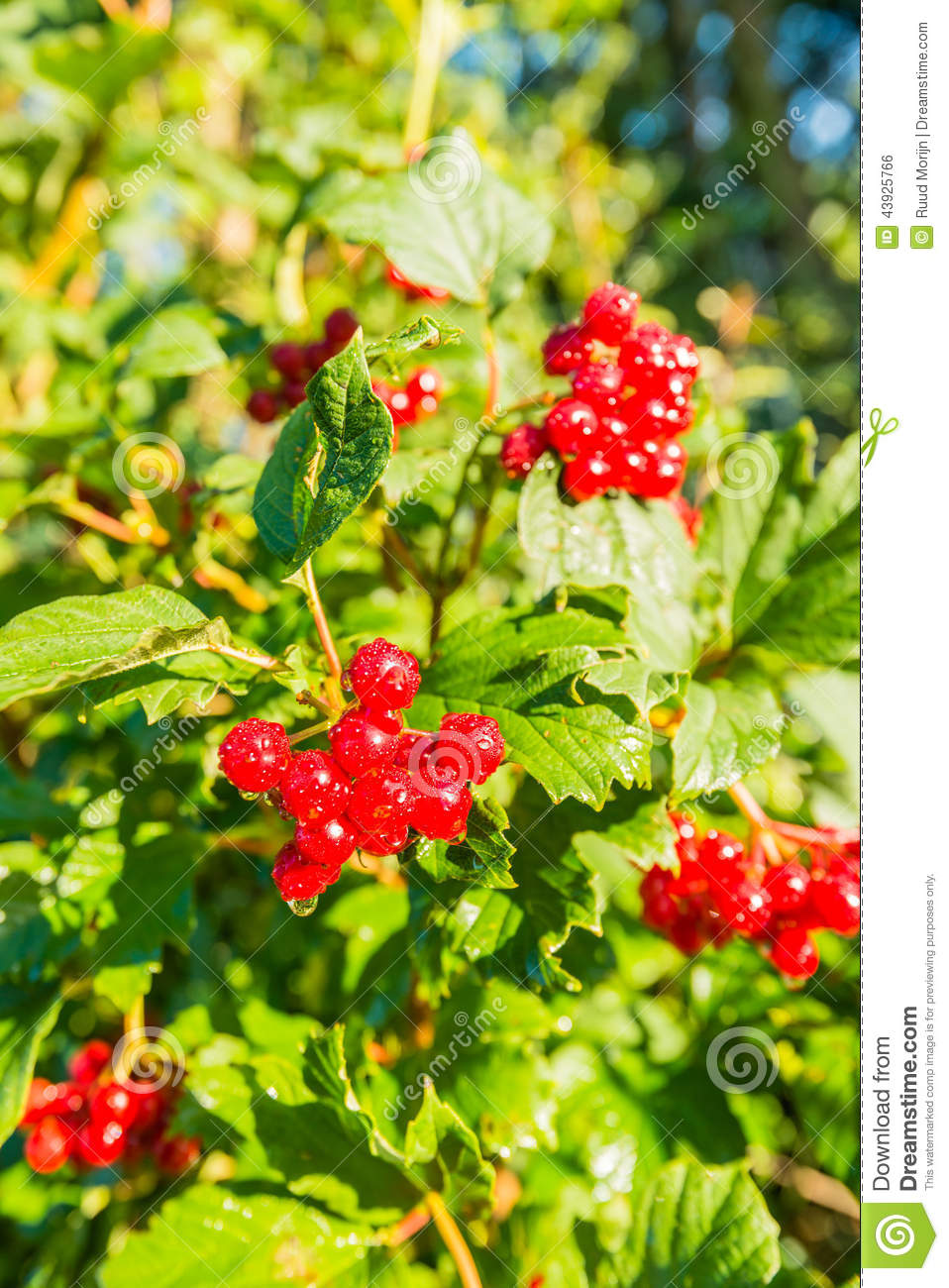 Bright Red Berries With Dewdrops Stock Photo Image 43925766
