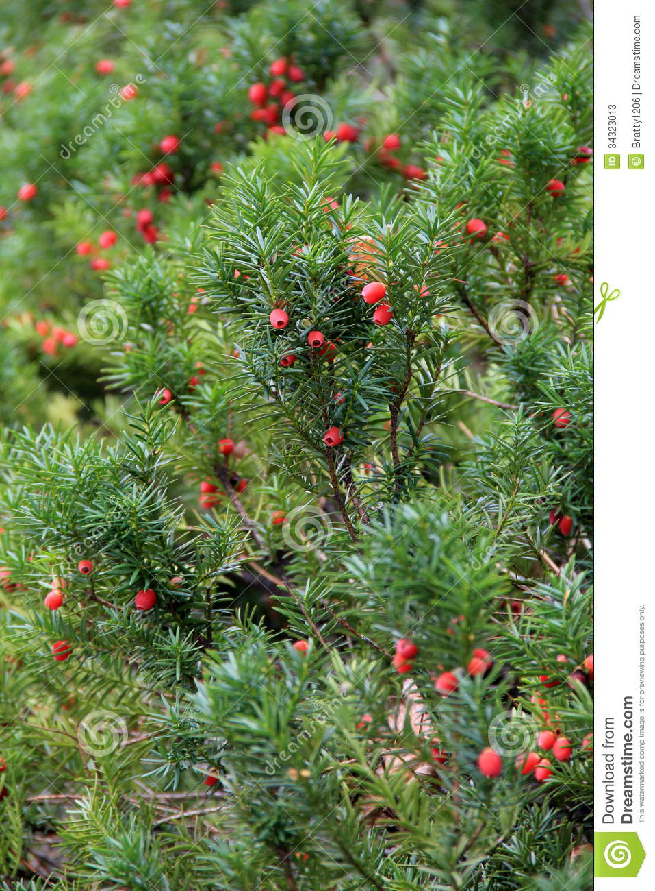 Bright Red Berries On Green Shrub Stock Image Image Of Border