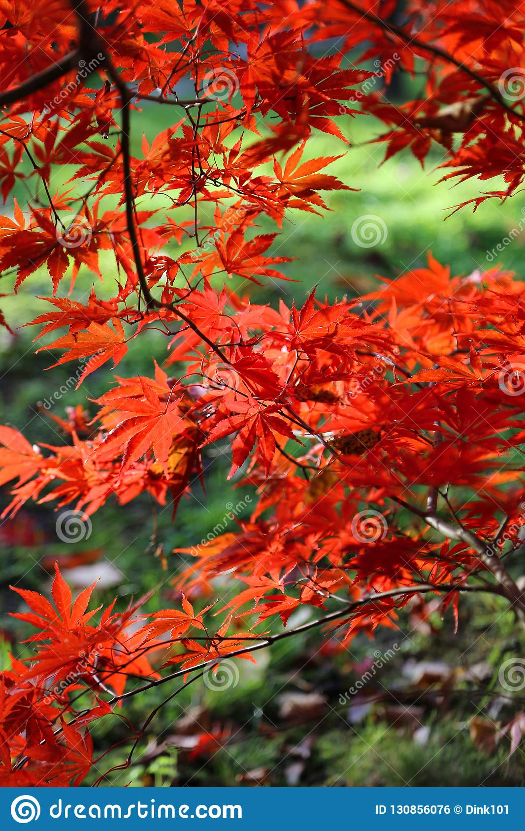Bright Red Branches Of Japanese Maple Or Acer Palmatum On The Au