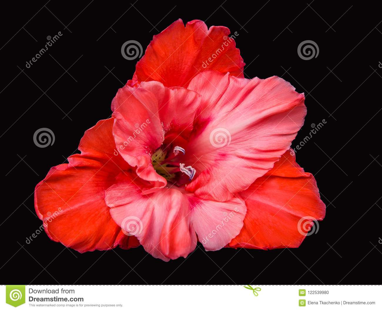Bright Red Coral Gladiolus Flower On A Black Background Stock Photo
