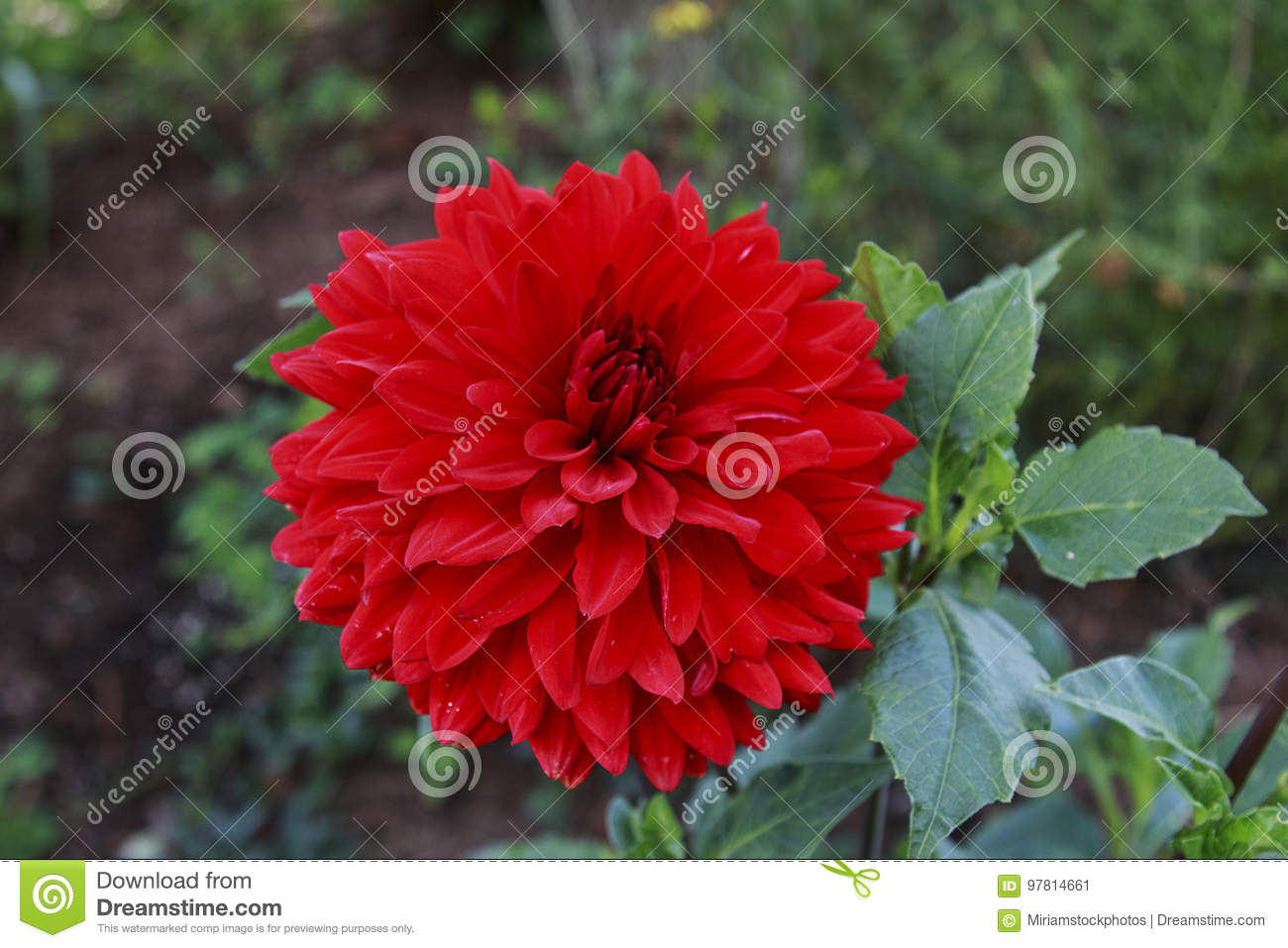 Bright Red Dahlia Flower In The Garden Stock Image Image Of