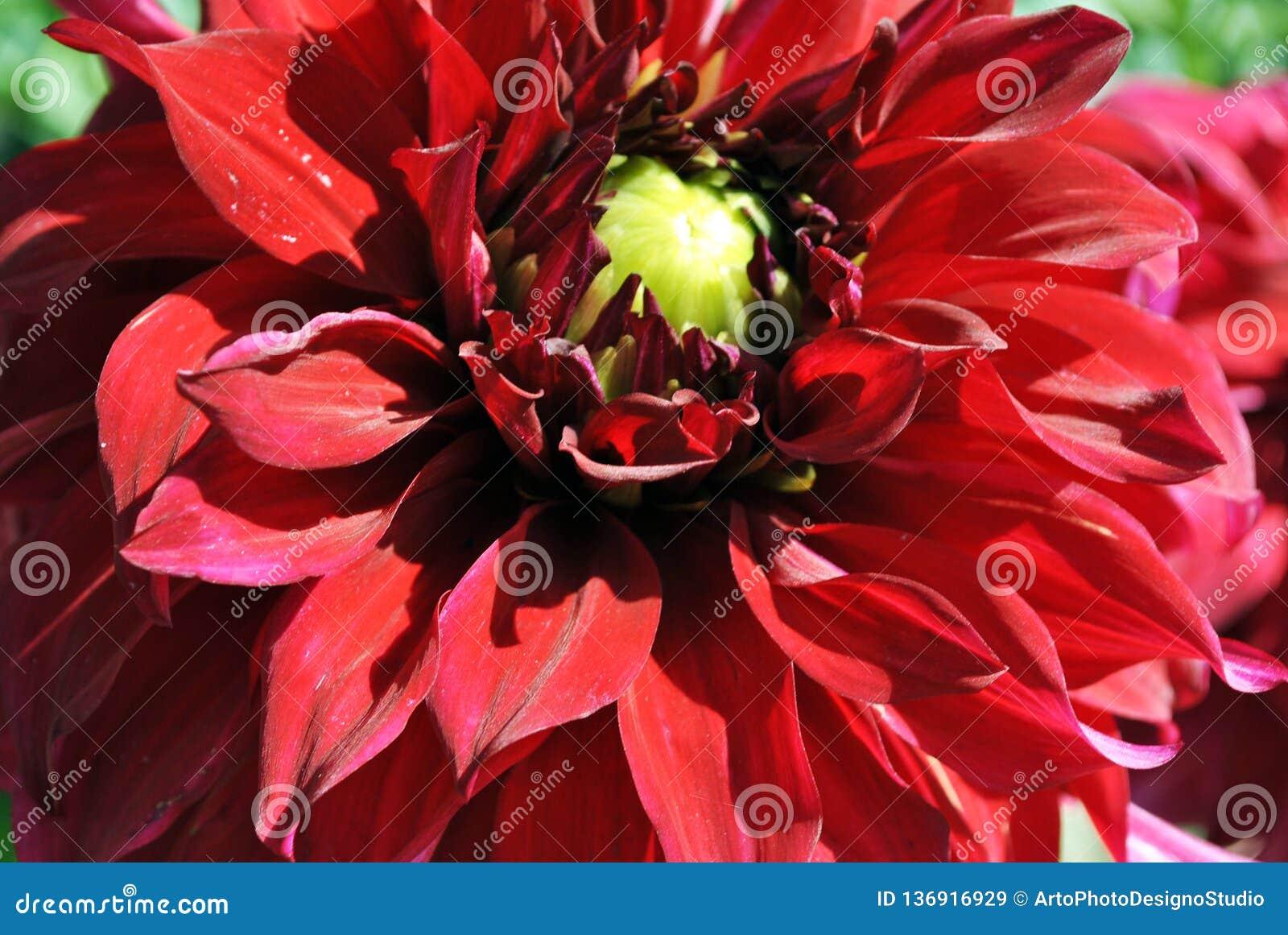 Bright red dahlias on green bush, petals close up detail, soft blurry bokeh