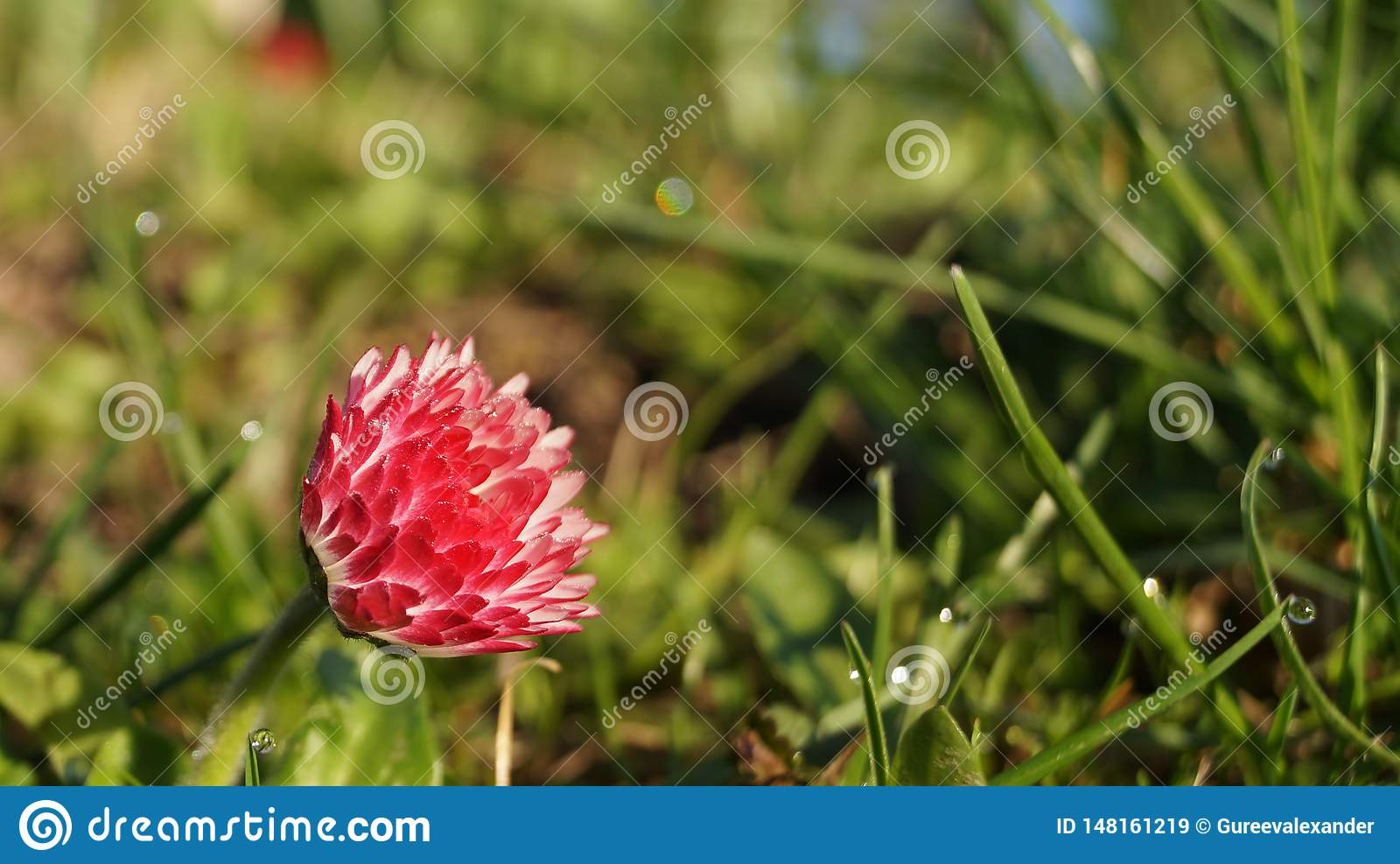 Bright red flower on the background of young green grass.