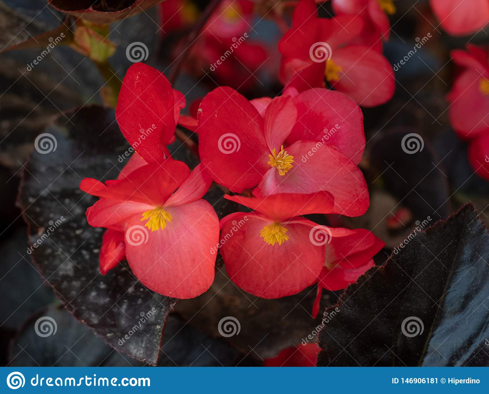 Red young garden wax begonia flowers with leaves