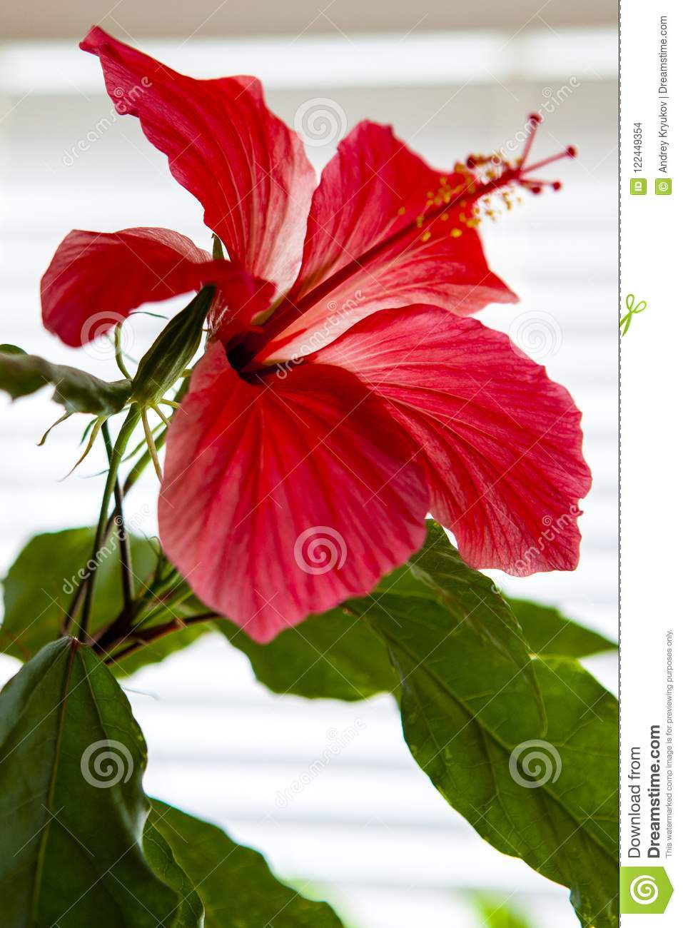 Bright Red Hibiscus Flower With Green Foliage On A White Background