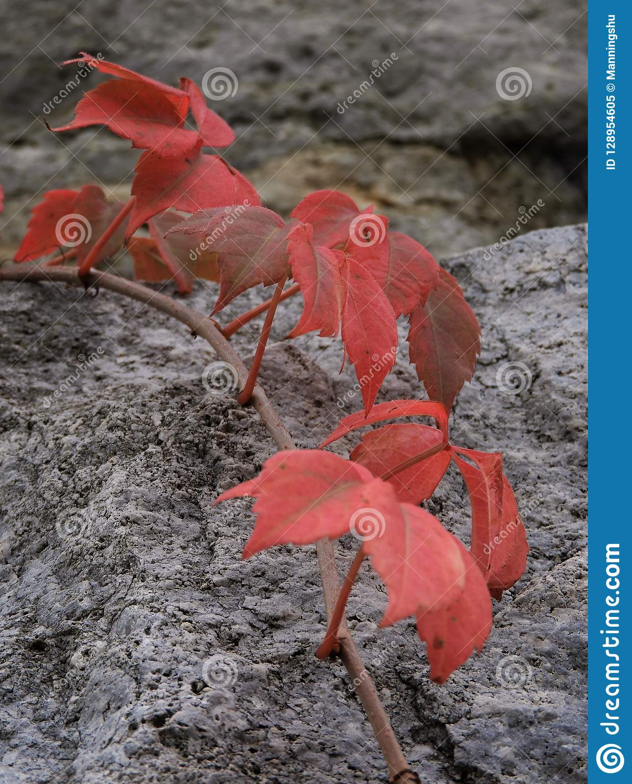 Bright Red Leaves Draped Over Rock Surface