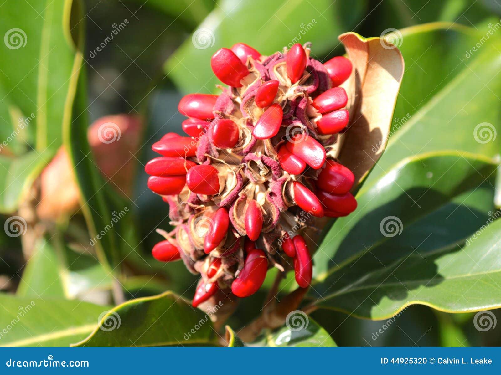 Magnolia Tree Seeds Stock Photo Image Of Pollination