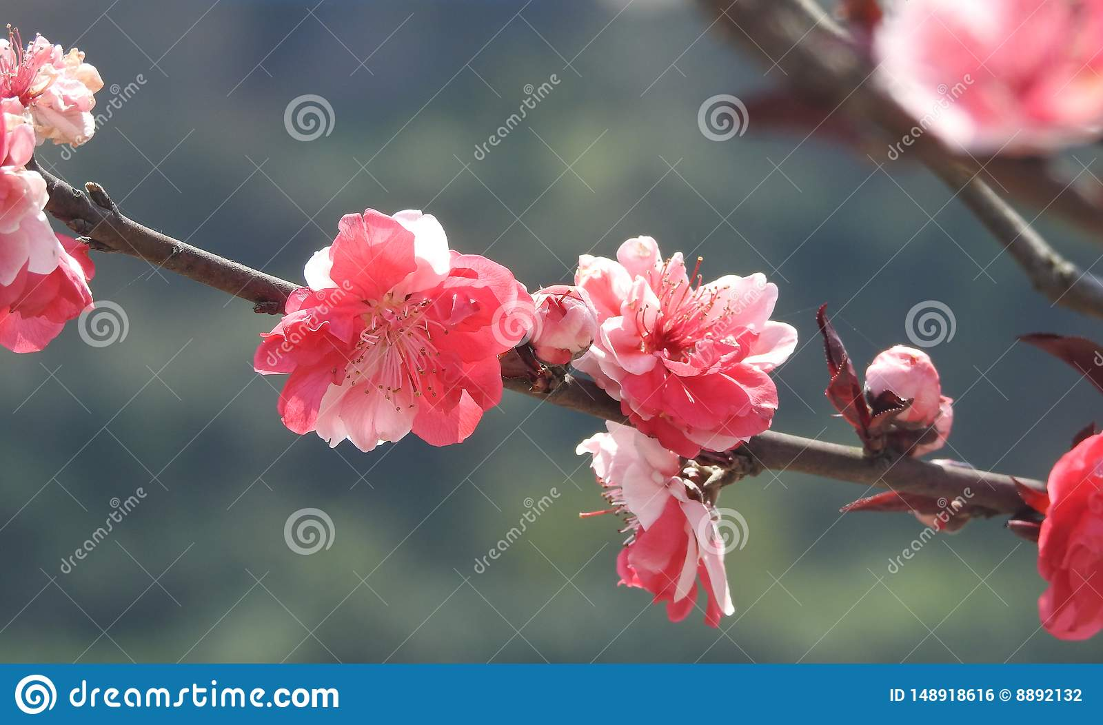 Wintersweet ,Bright red plum blossoms