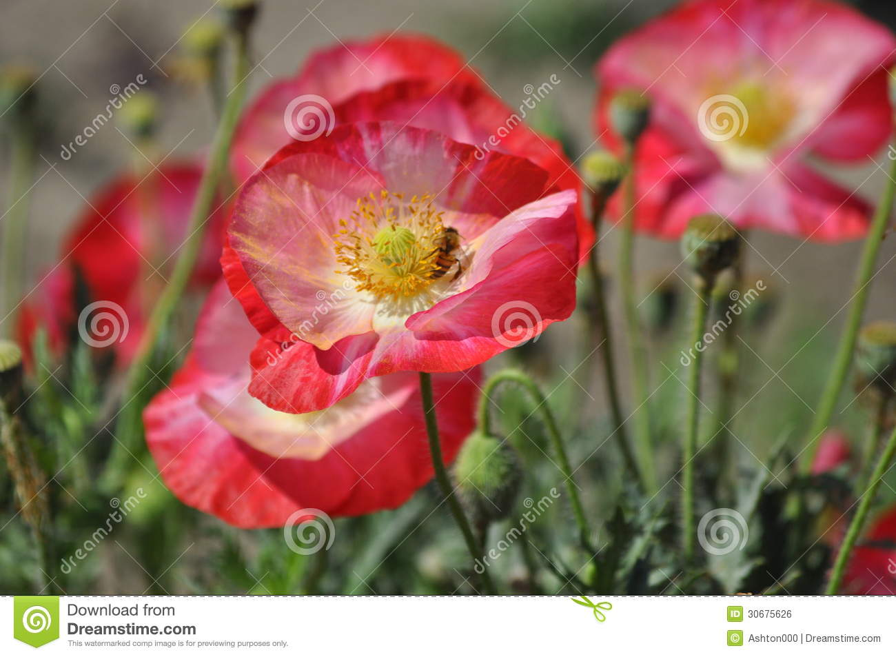 Bright Red Poppies with bee