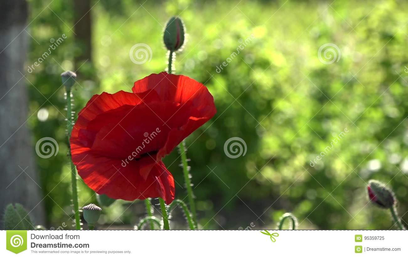 A Bright Red Poppy, Attracts Bees.Attractive, Bright, Red Color ...