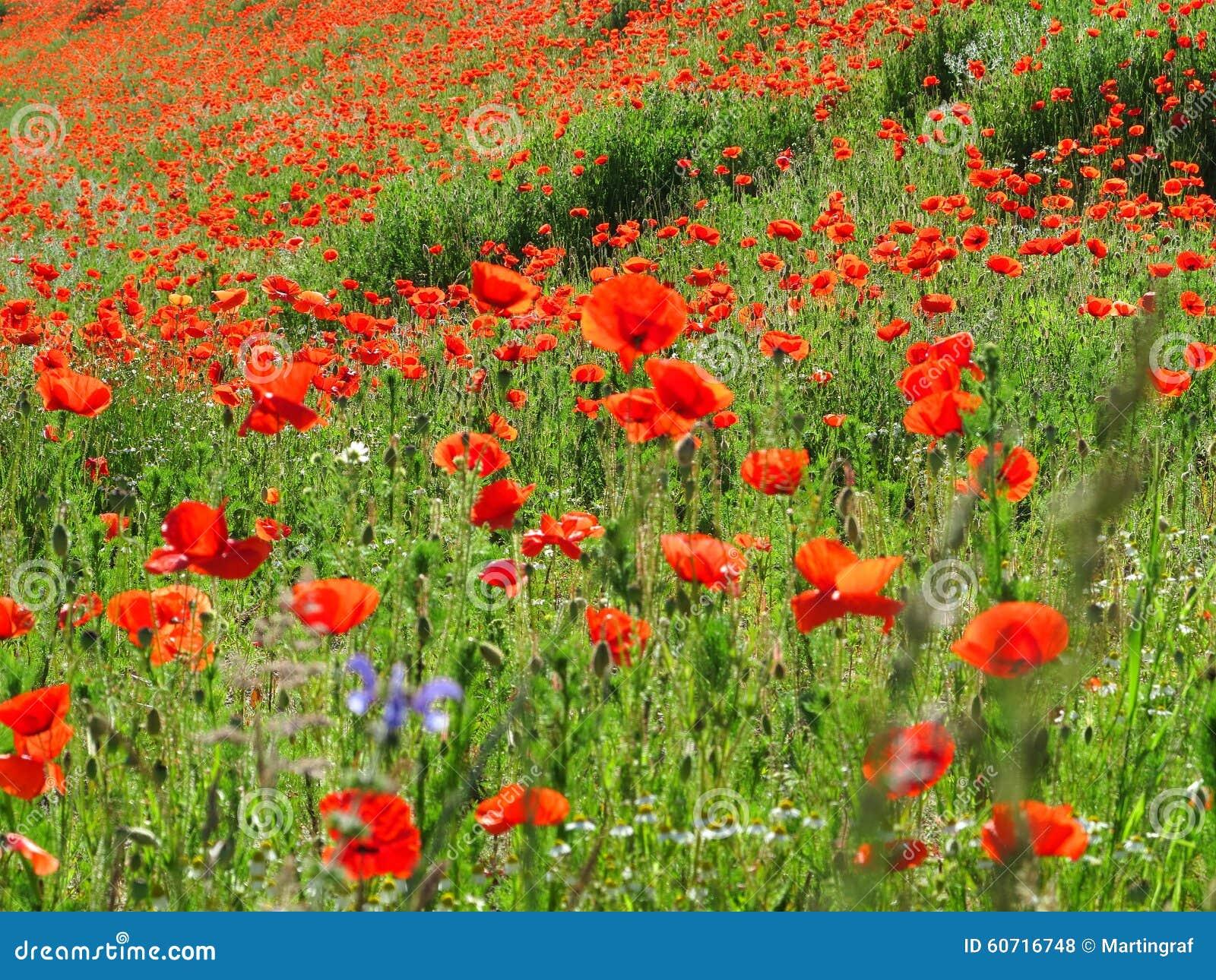 Bright red poppy field