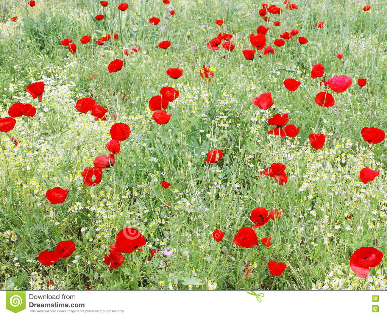bright red flowers field - photo #26