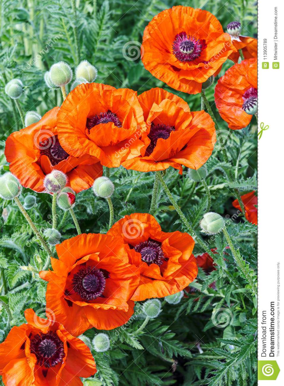 Bright Red Poppy Flowers Growing In The Field Stock Image Image Of