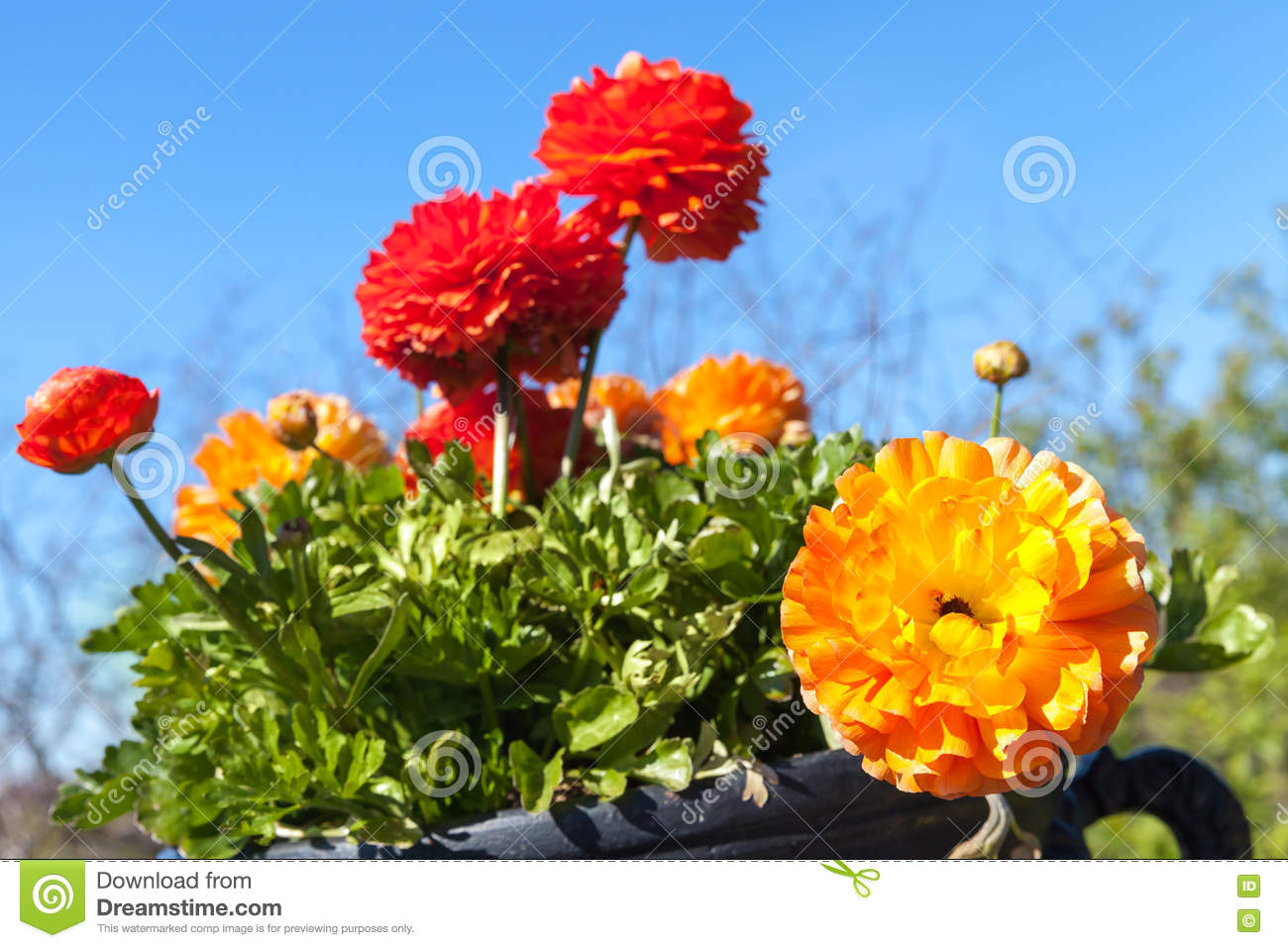 Bright Red And Yellow Peony Flowers Stock Photo Image Of Blossom