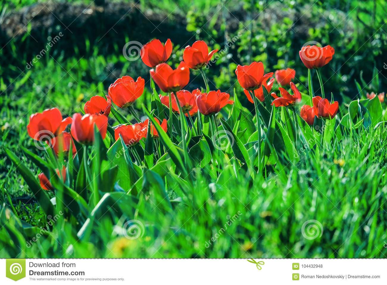 Bright Saturated Red Tulips In The Garden Greenery Spring Flower