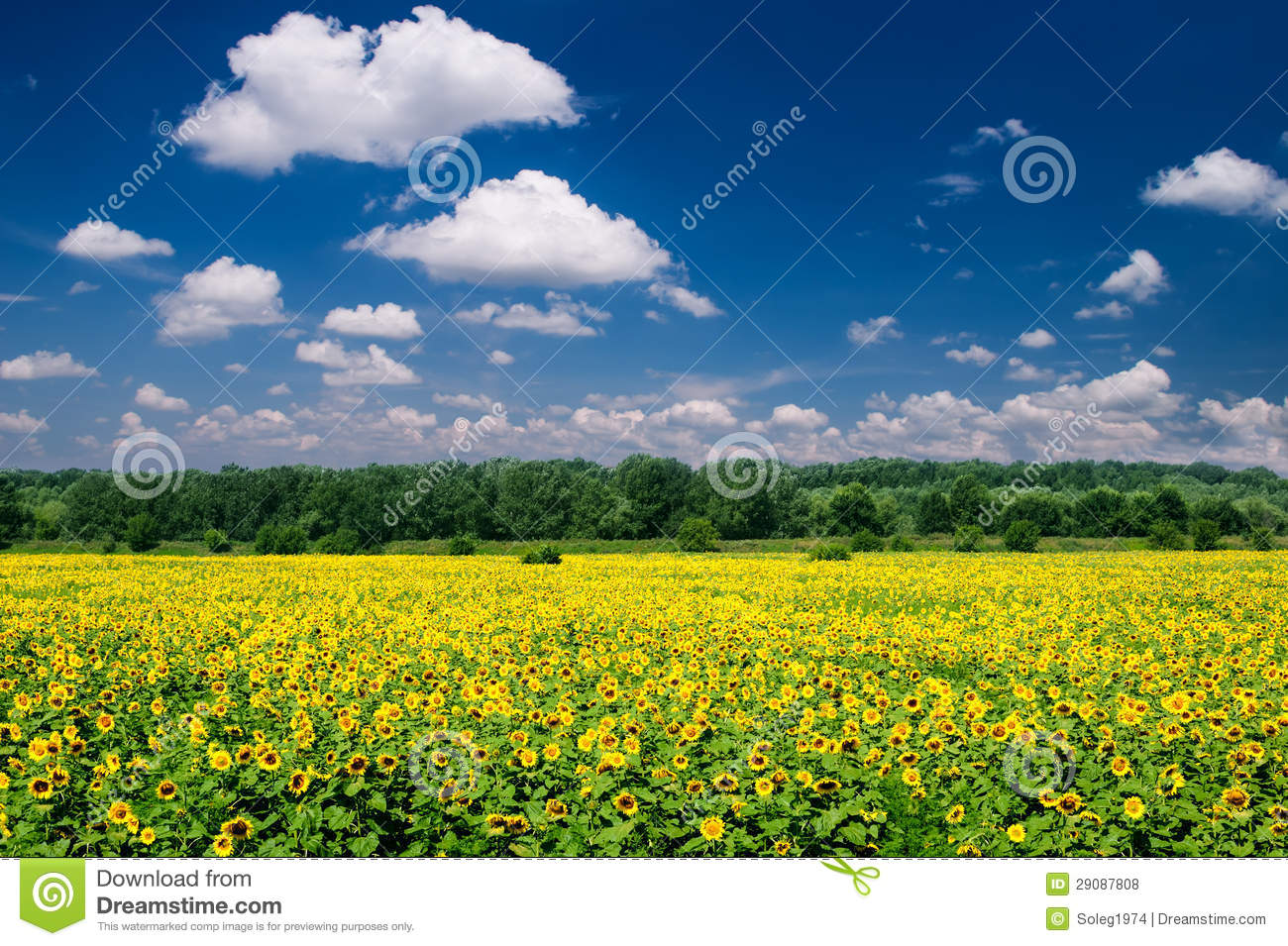 Bright summer landscape. sunflower field