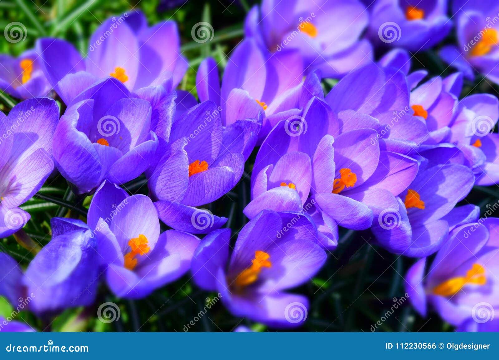 Bright ultra violet crocuses flowers