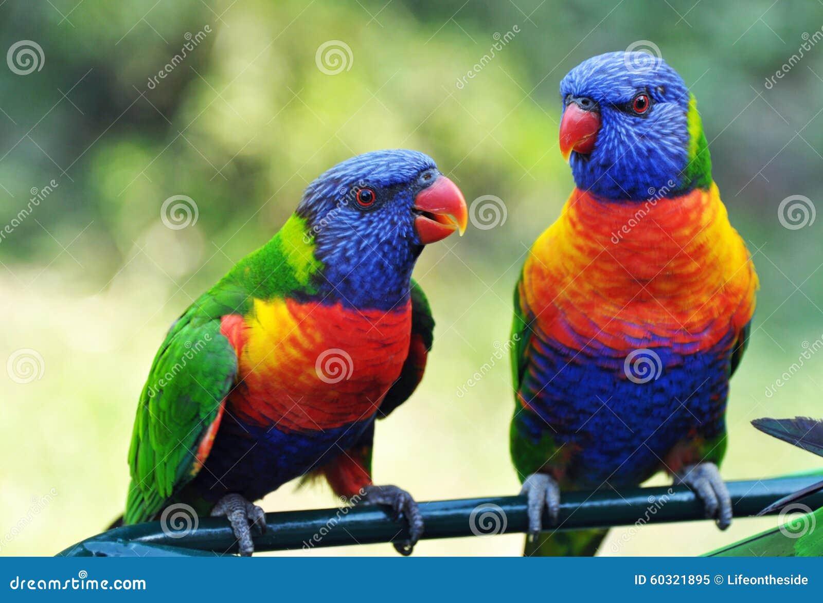Bright vivid colors of Rainbow Lorikeets birds native to Australia