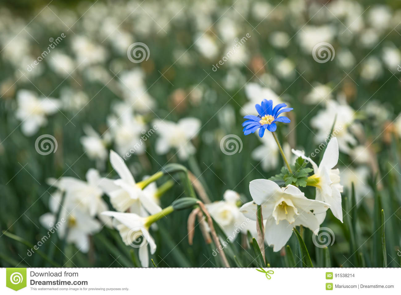 Bright White Flowers With One Blue Being Different Standing Out