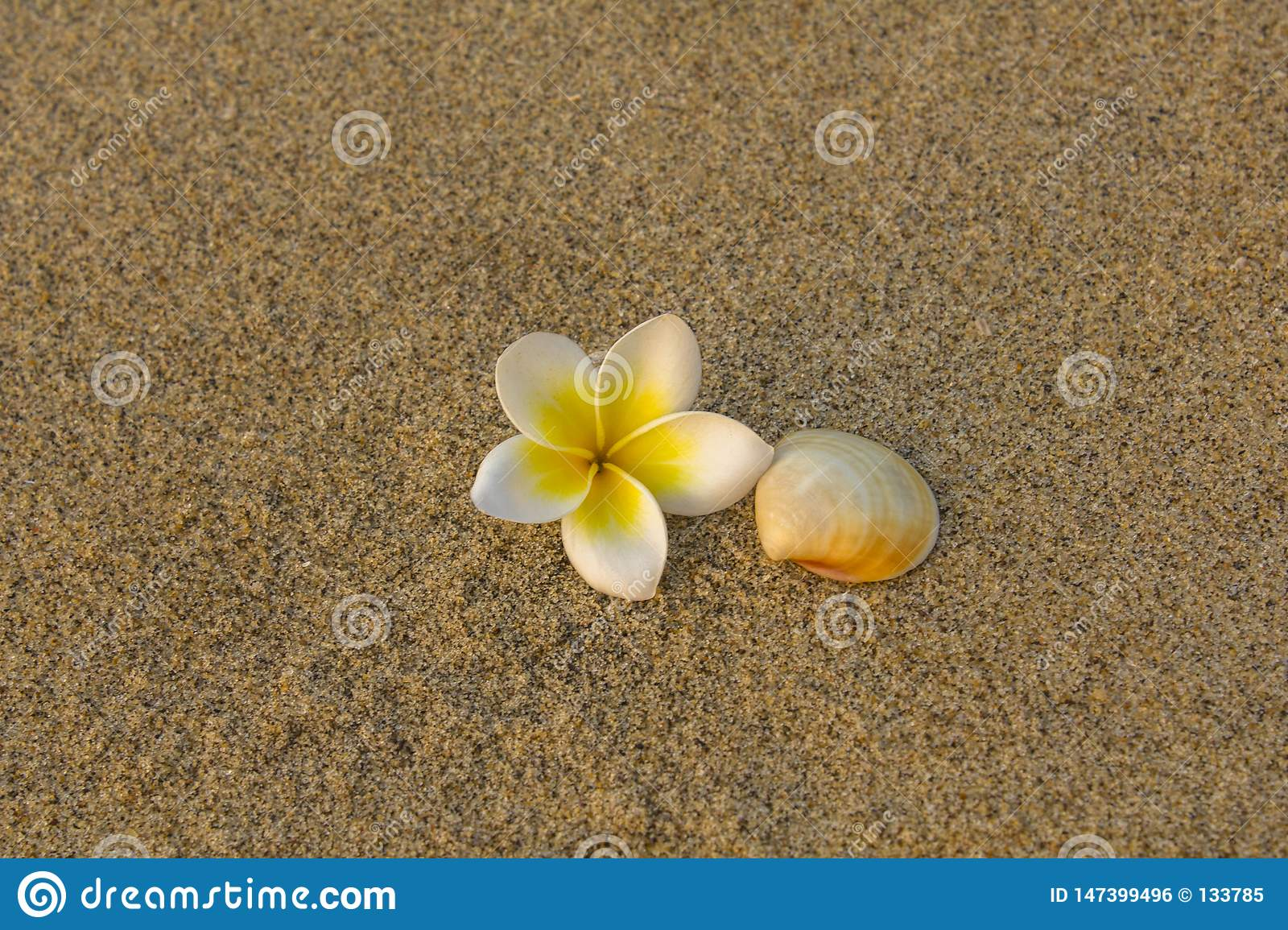 Bright white frangipani plumeria flower and beige shell lie on the blurred yellow sand. natural surface texture