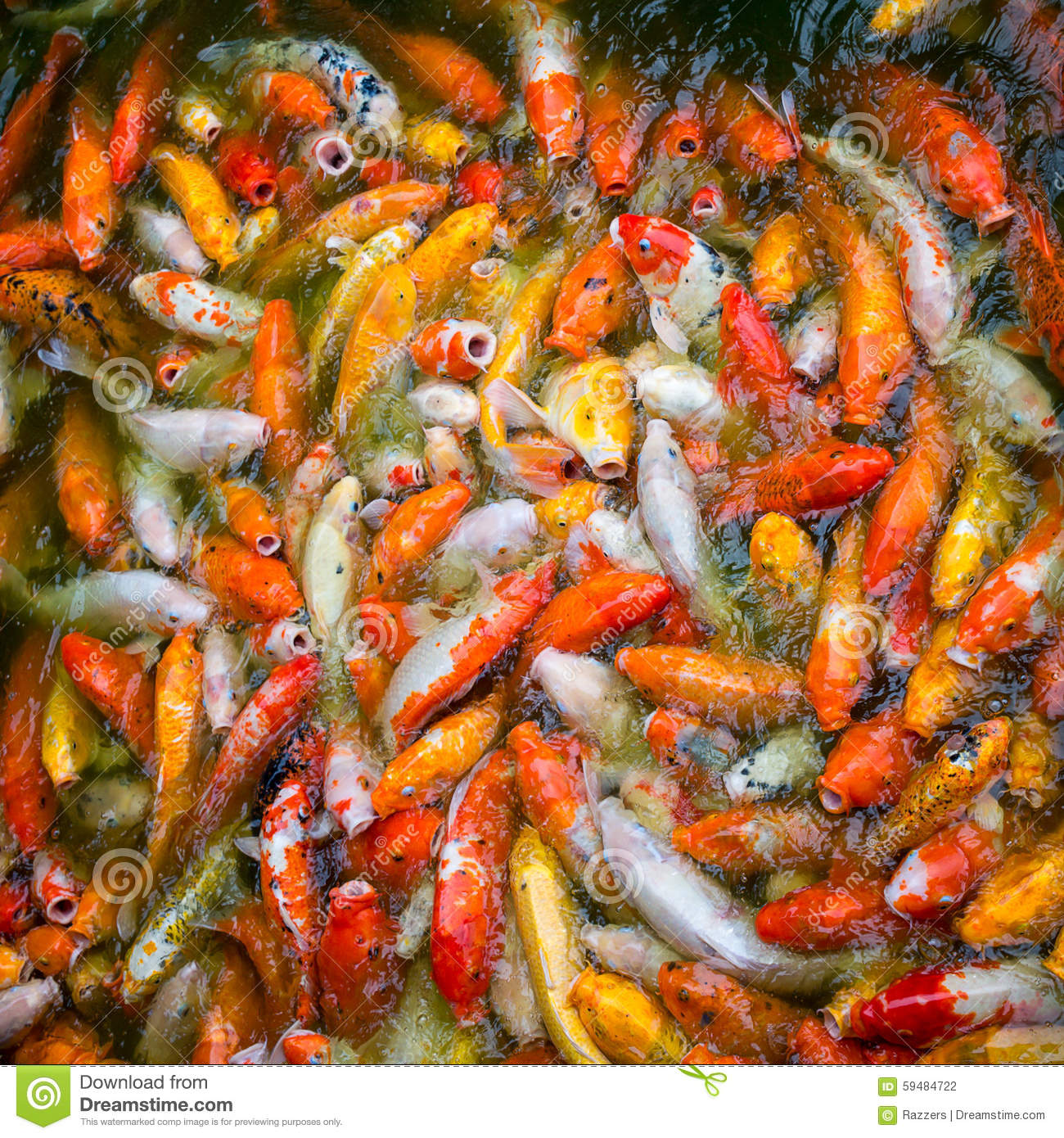 bright white red yellow japanese koi fish eats food in a