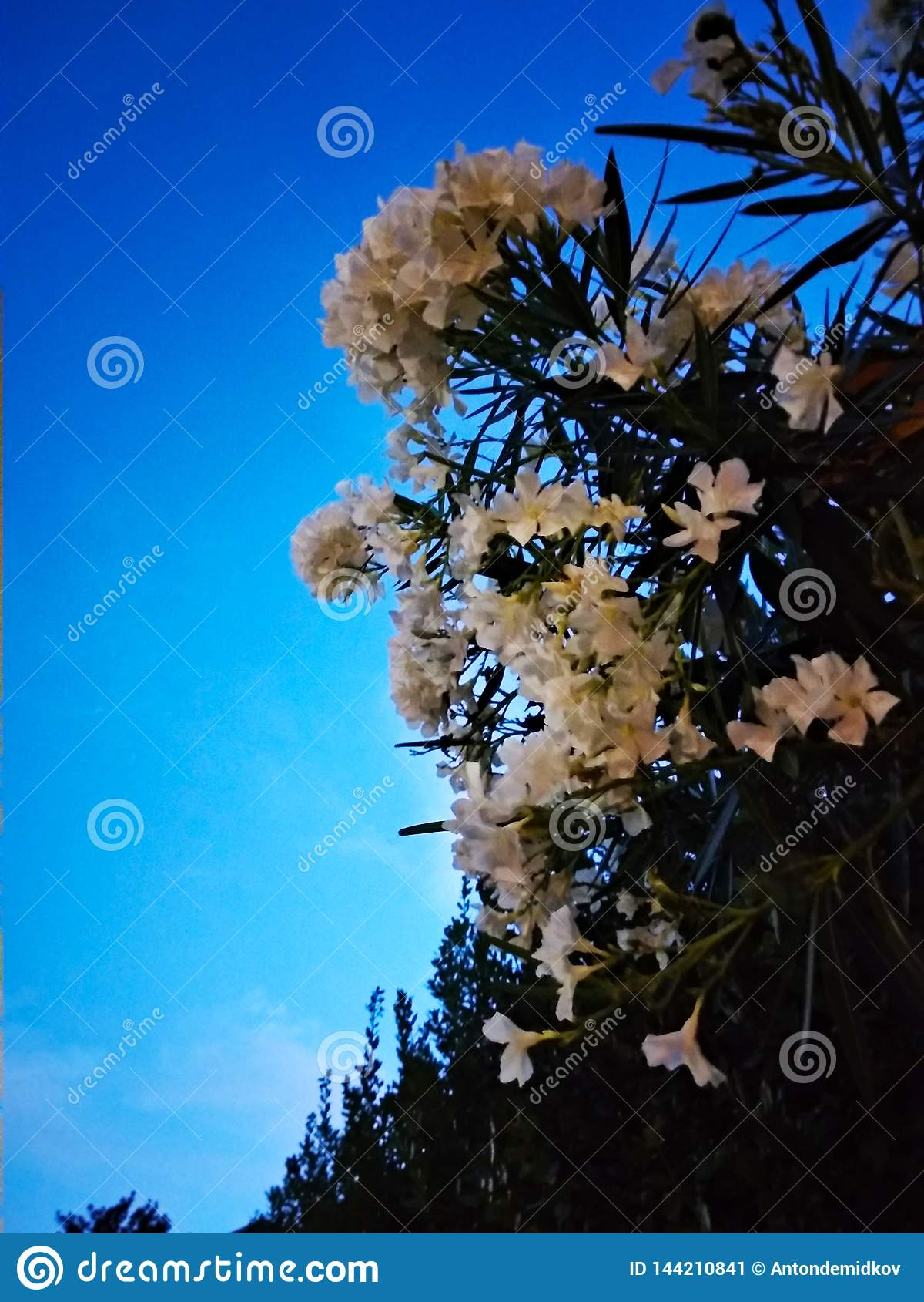 Bright White Shrub Flowers Pescara Abruzzo Region Stock Image
