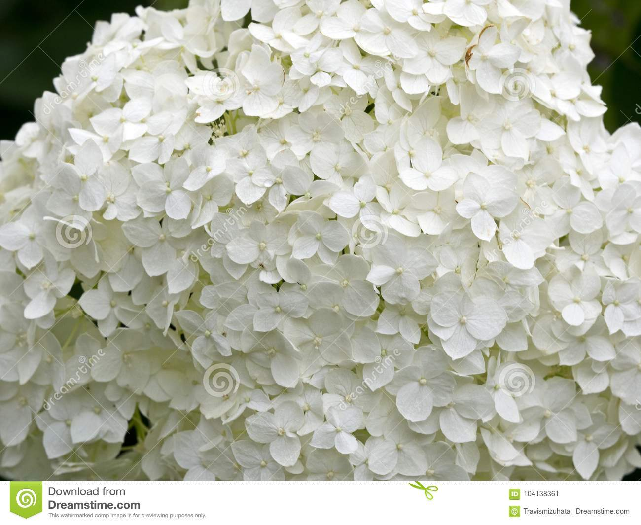 Bright White Snowball Flower Stock Image Image Of Bright Snowball