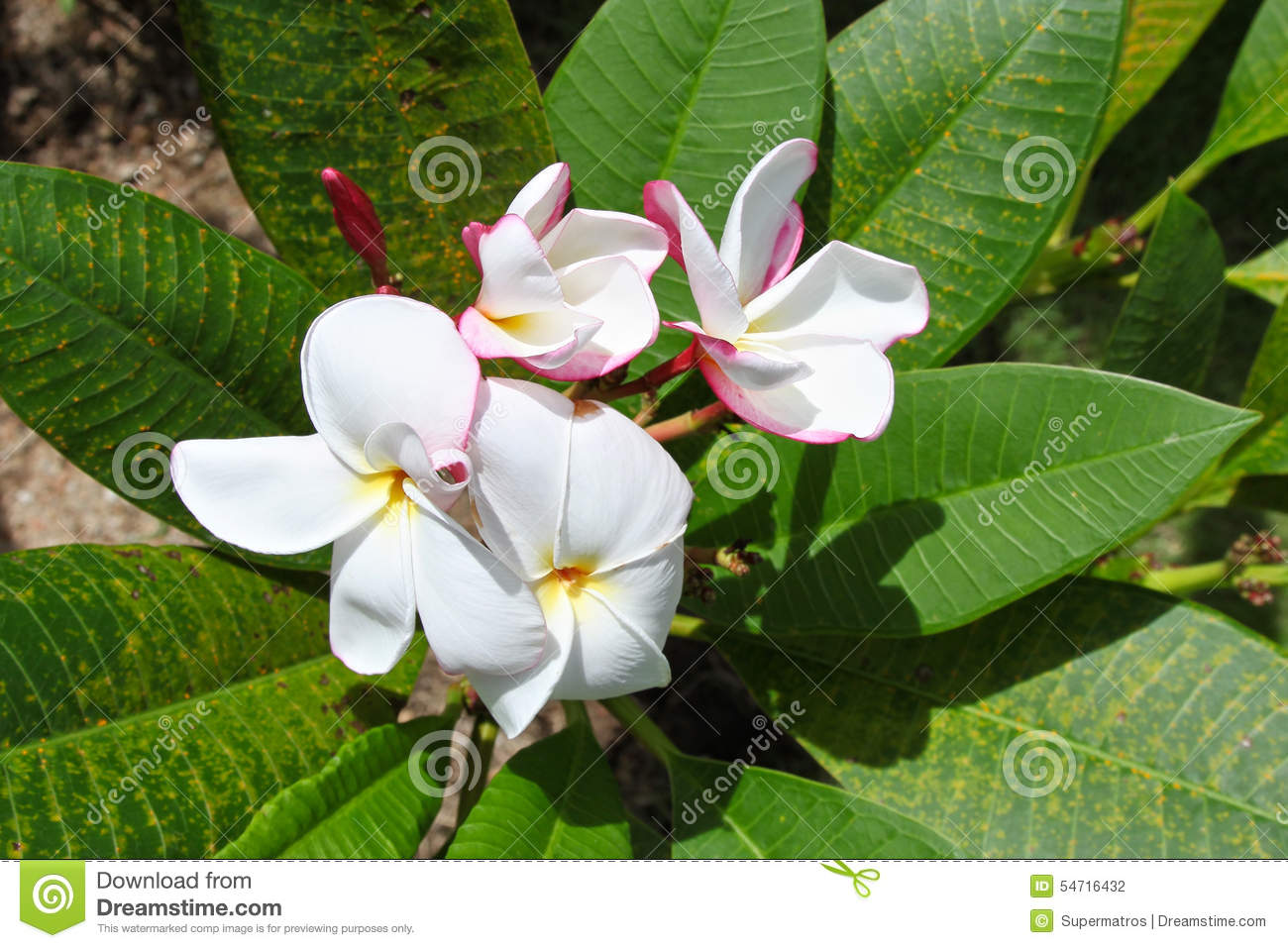 Bright White Tropical Flower In Bloom Stock Photo Image Of Blossom
