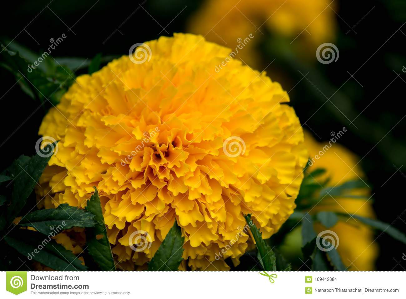 Bright Yellow African Marigold Flowers Stock Photo Image Of