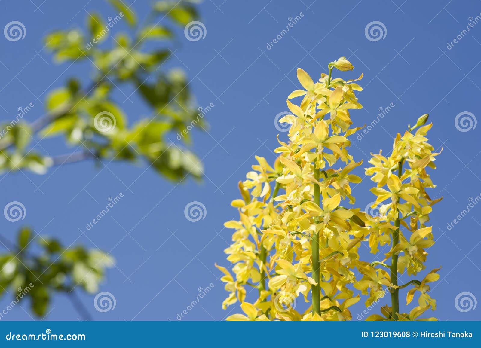 Yellow calanthe flowers