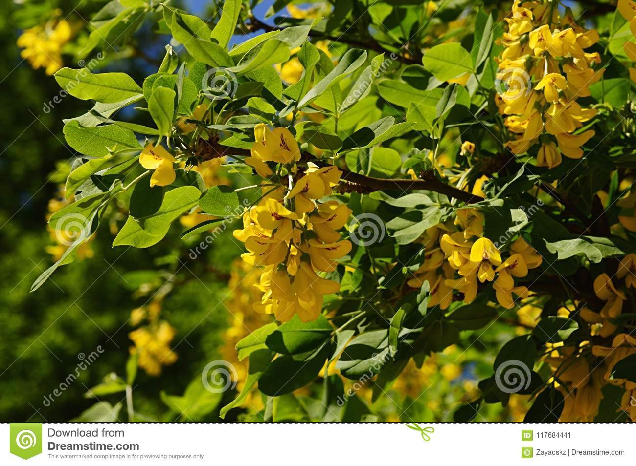 Bright Yellow Cluster Of Flowers Of Common Laburnum Also Called