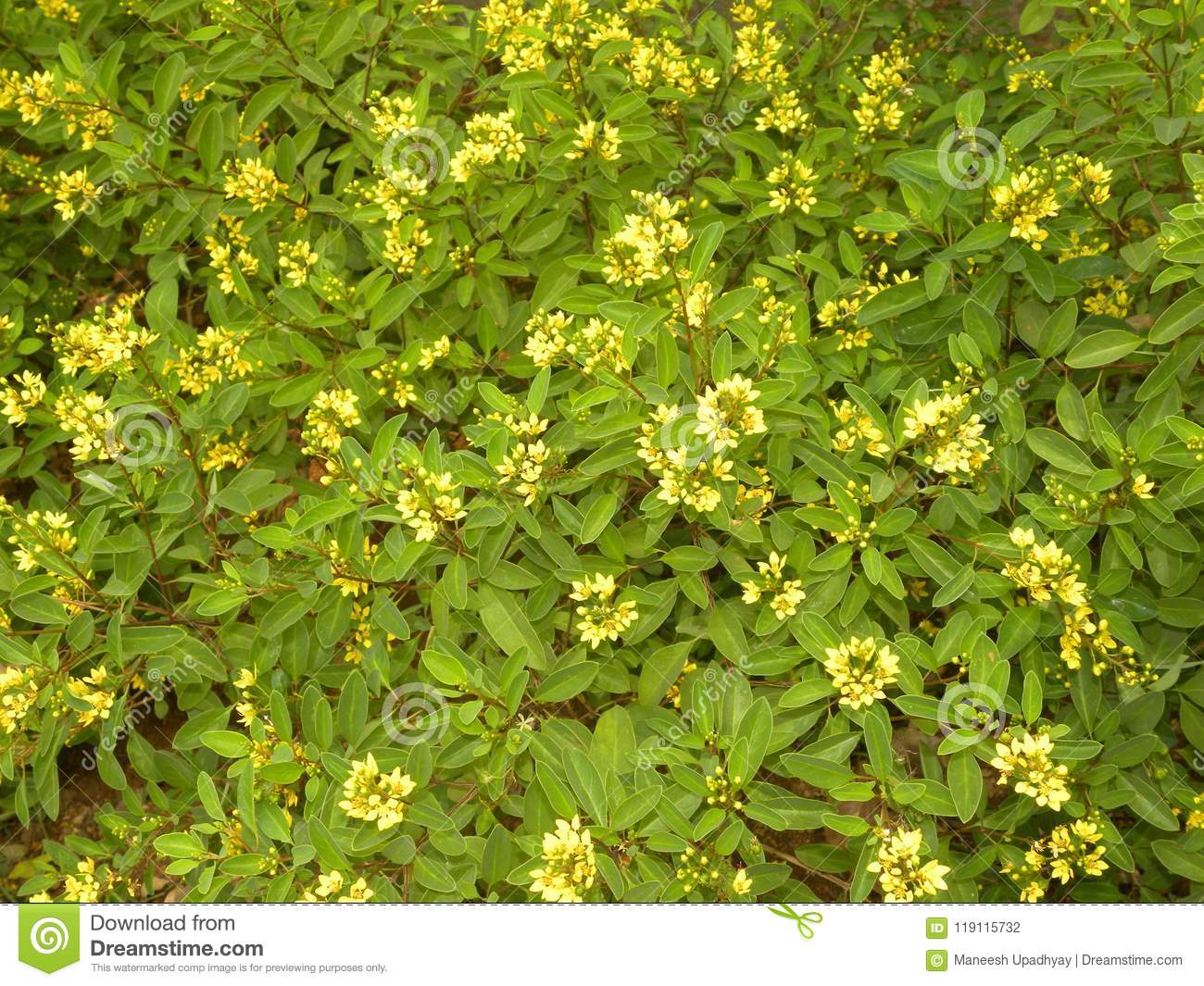 Bright Yellow Color Flowers Of Galphimia Gracilis Plant Stock Photo ...