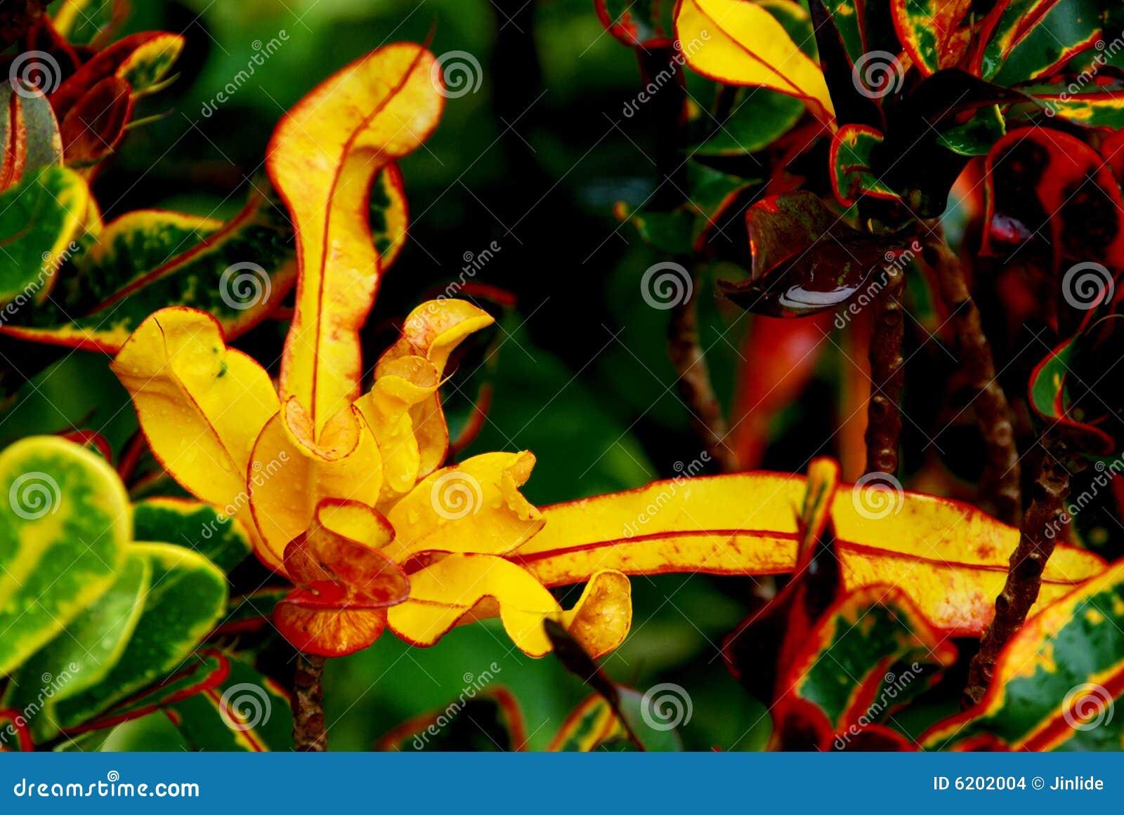 Bright yellow Croton in rain