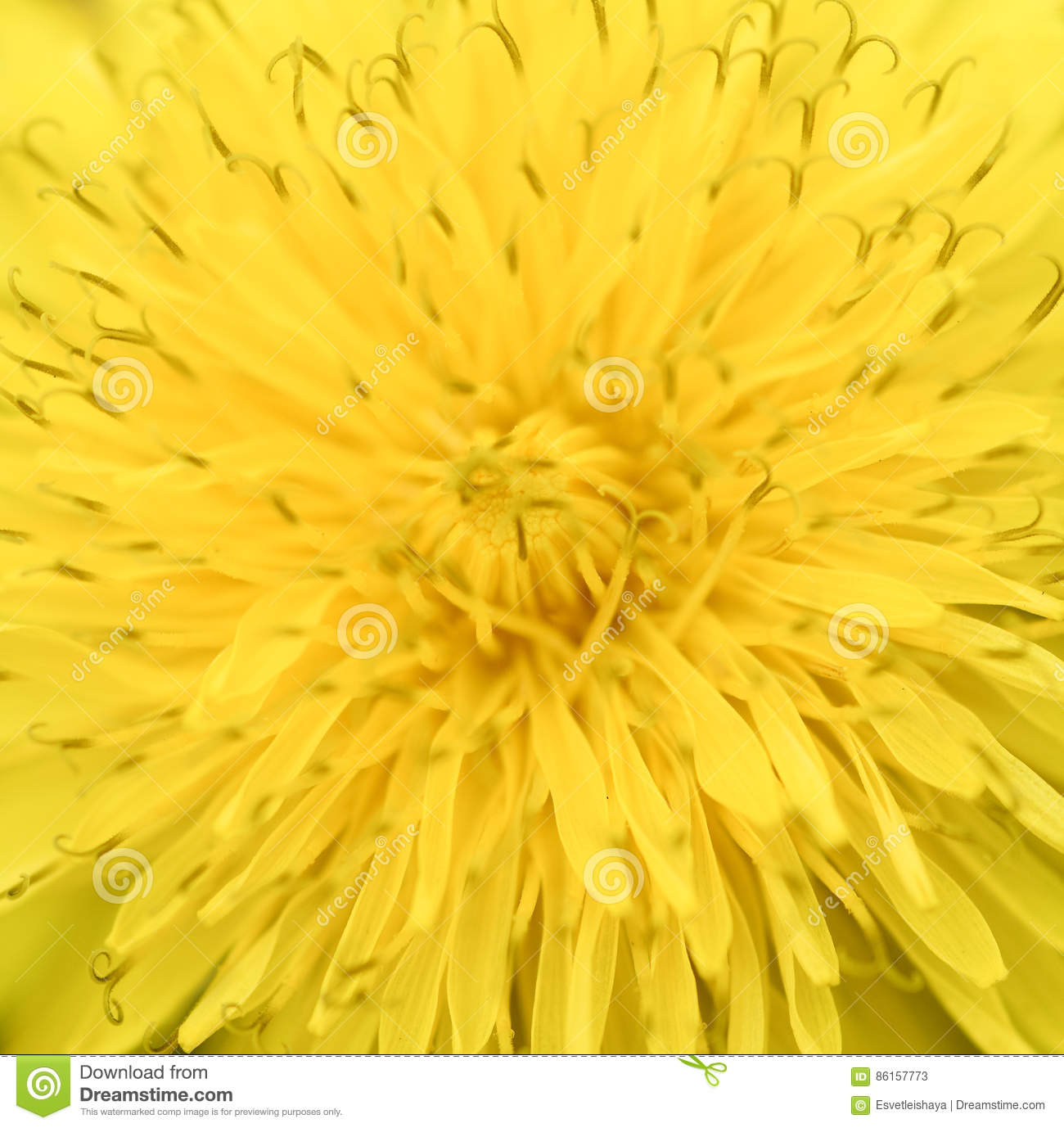 Bright Yellow Dandelion Close Up. Floral Spring Background