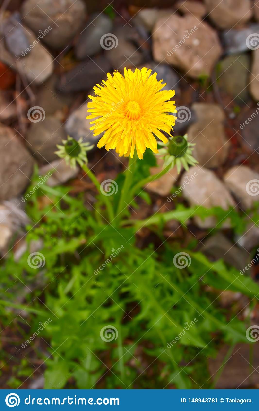 Bright yellow dandelion on a neutral background
