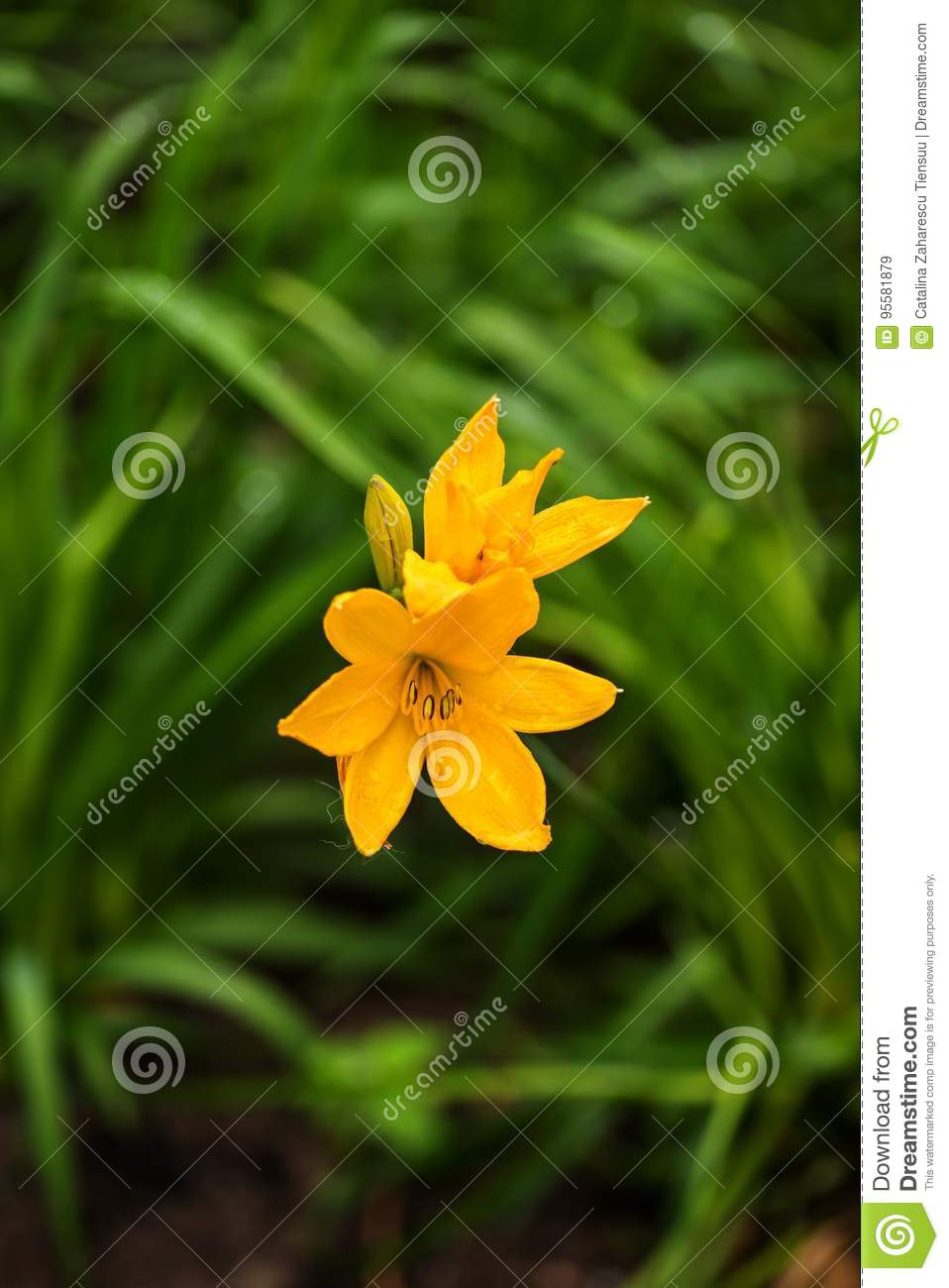 Bright yellow day lilies in a park