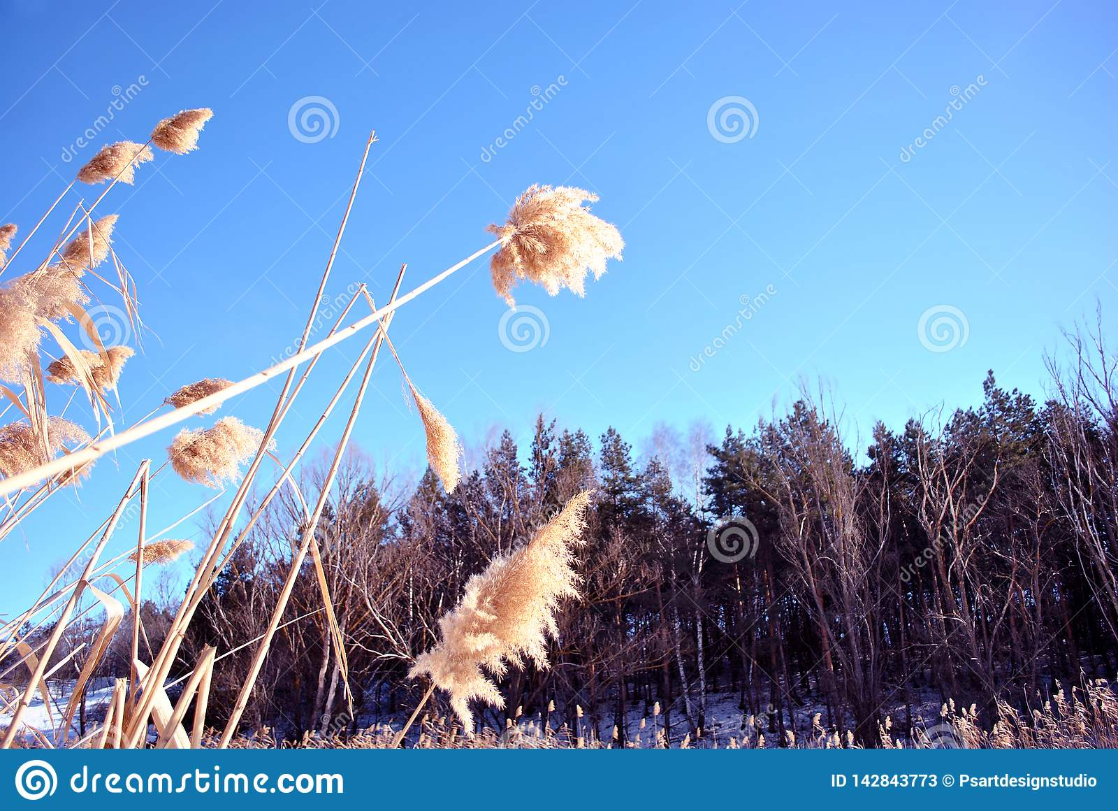 Bright yellow dry reeds and pine forest behind, bright blue sky, view from ground on top