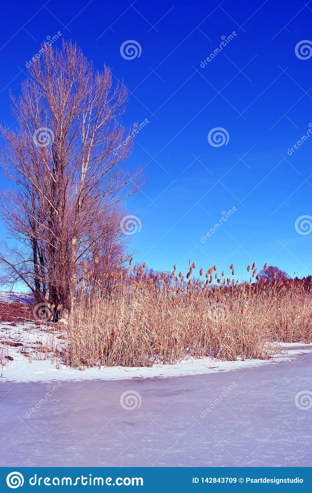 Bright yellow dry reeds on river bank with poplar trees without leaves, hills covered with snow, sky background