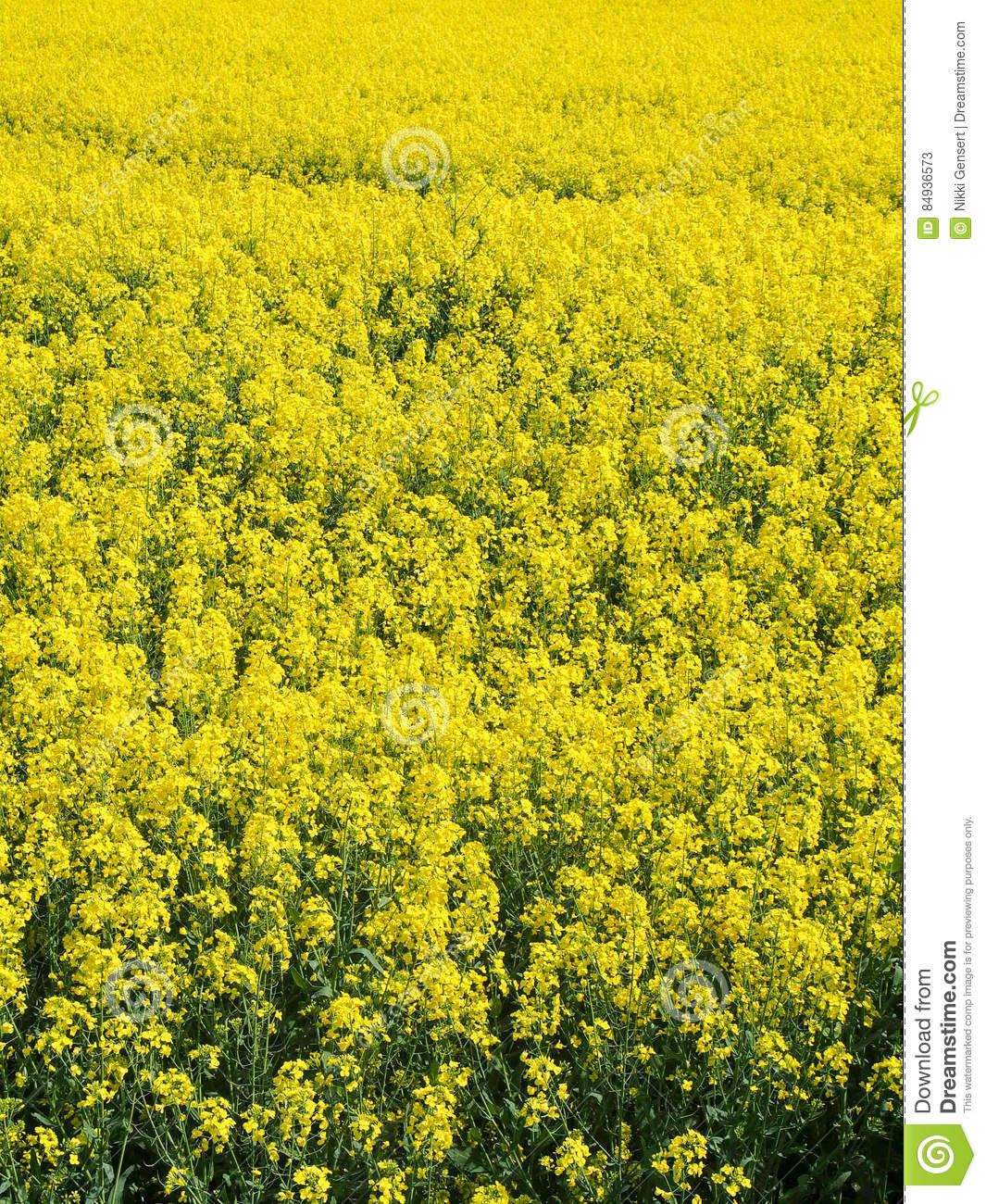 Fiori Gialli Campagna.Bright Yellow Field Of Rapeseed Flowers French Countryside Stock