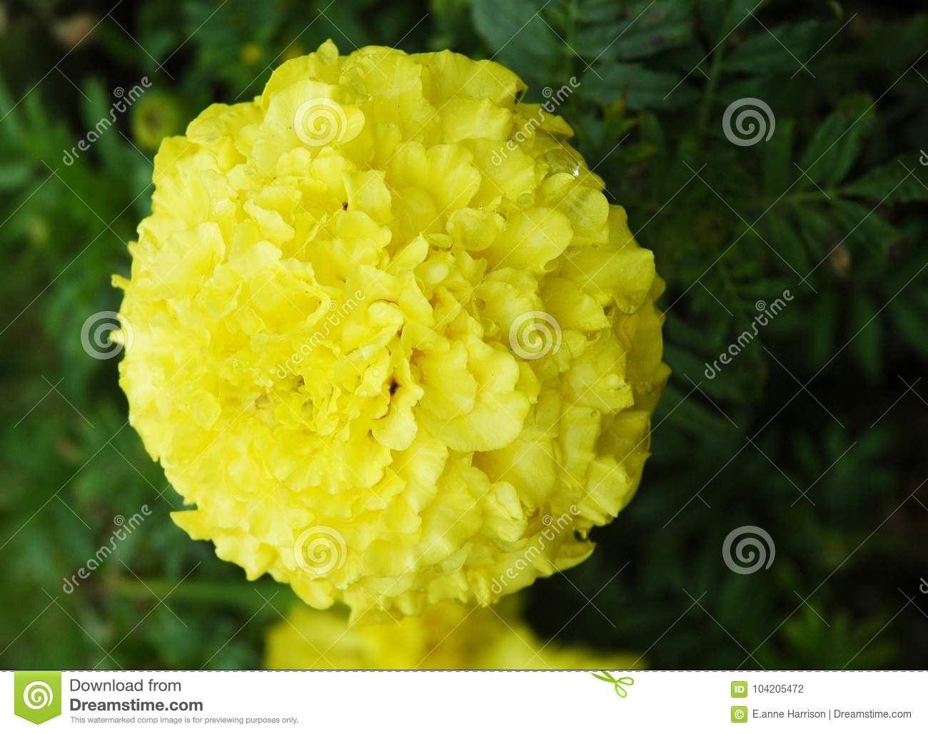 A bright yellow flower with hundreds of petals stock photo image a bright yellow flower with hundreds of petals mightylinksfo