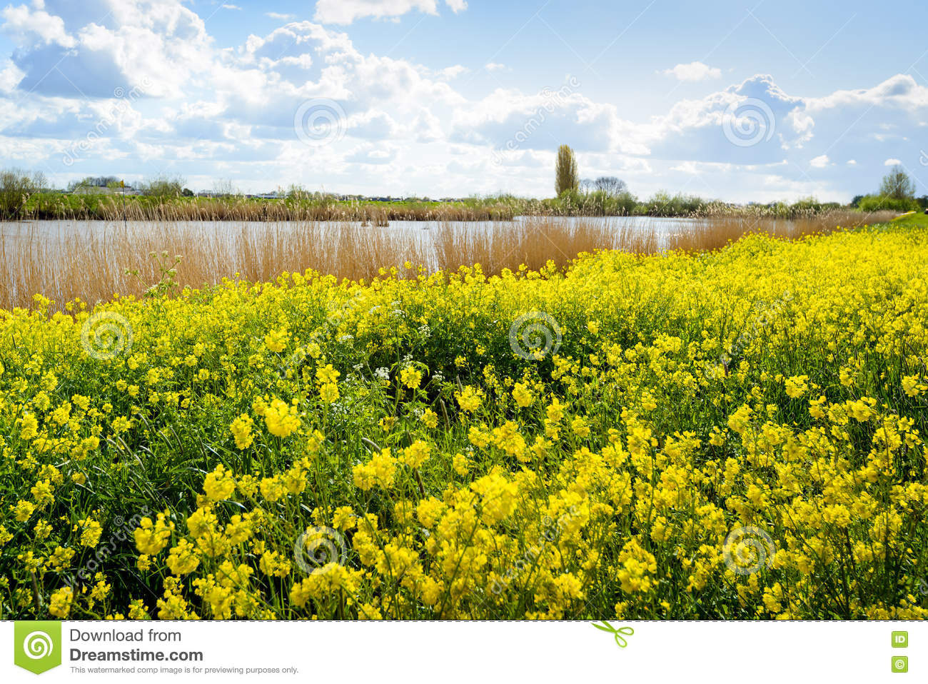 Bright Yellow Flowering Wild Plants In A Rural Area In Spring Stock