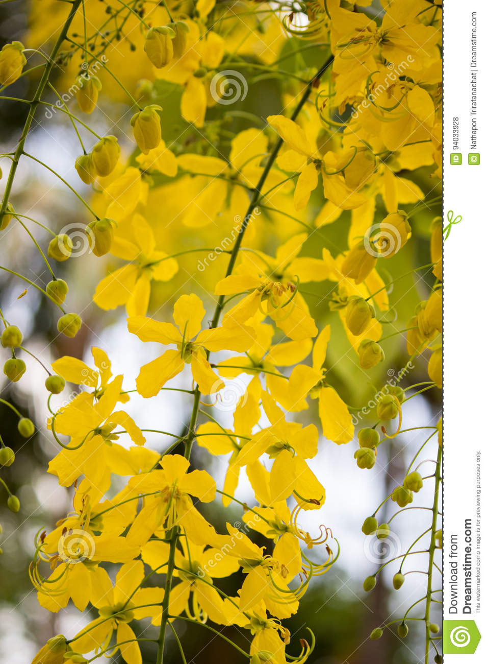 Bright yellow flowers of cassia fistulagolden shower tree in bloom bright yellow flowers of cassia fistulagolden shower tree in bloom mightylinksfo