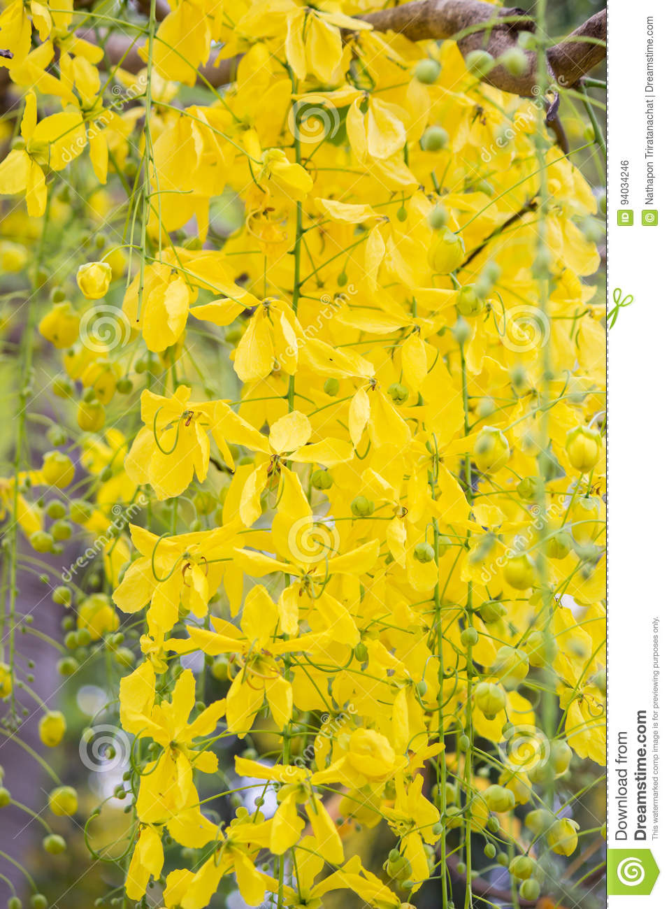 Bright Yellow Flowers Of Cassia Fistulagolden Shower Tree In Bloom
