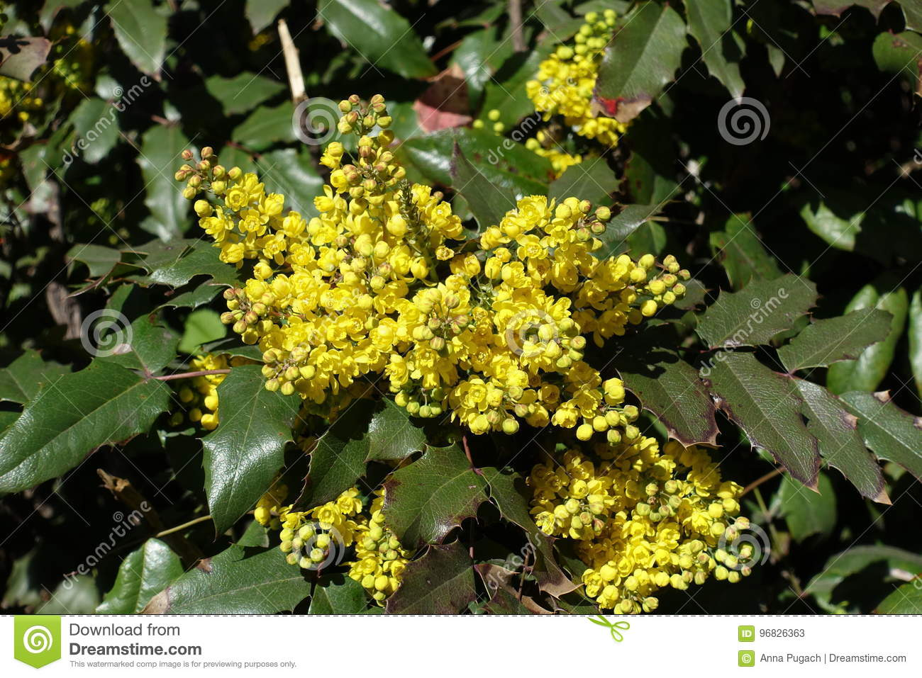 Bright yellow flowers and wide pinnate leaves of grape holly stock bright yellow flowers and wide pinnate leaves of grape holly mightylinksfo