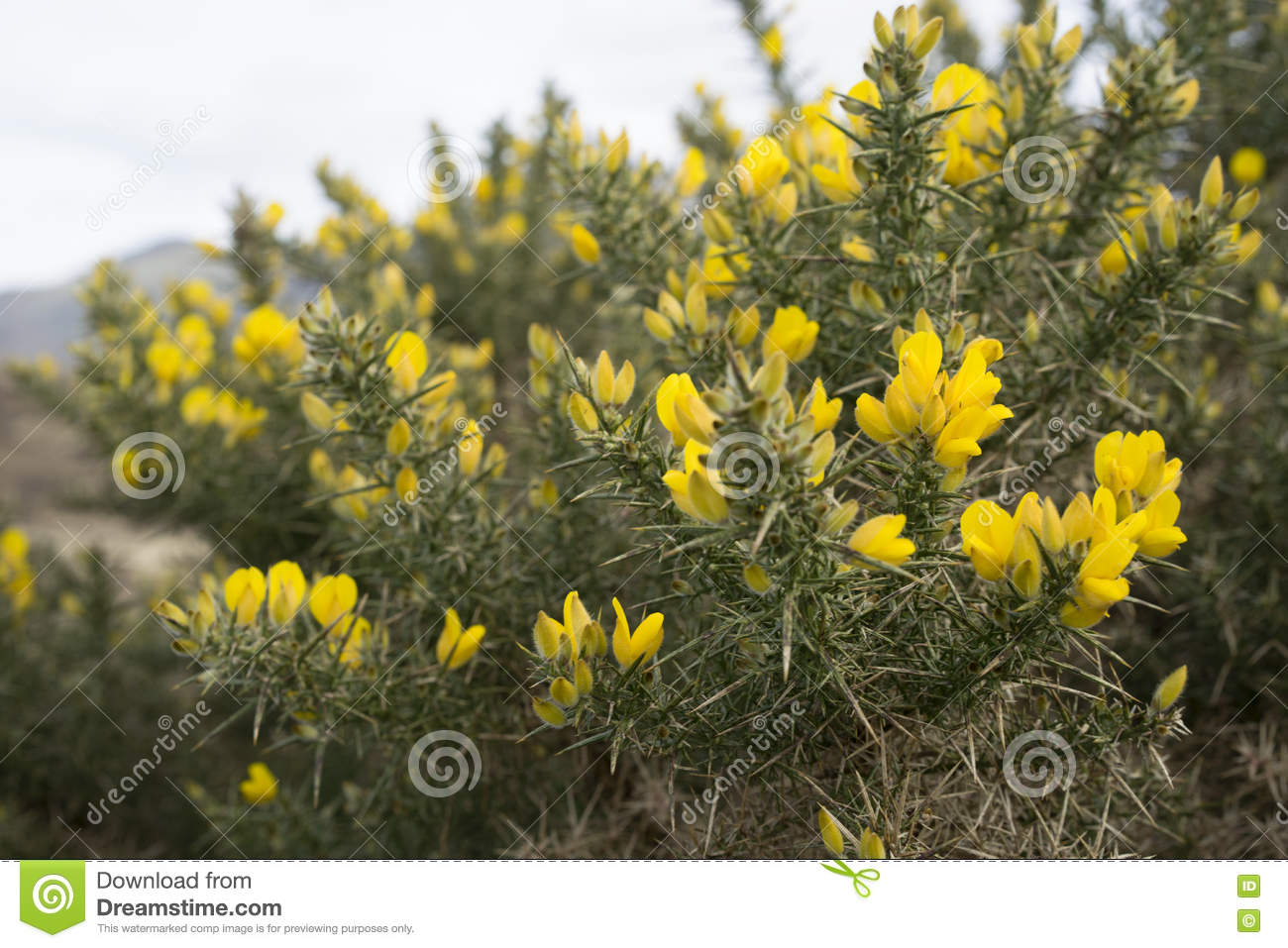Bright Yellow Gorse In Detail Stock Photo Image Of Hebrides