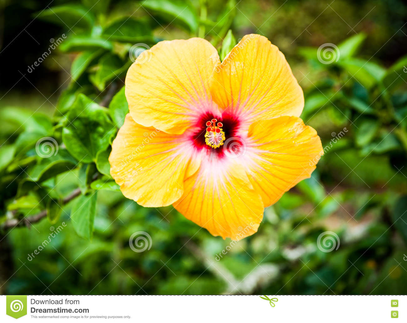 Bright Yellow Hibiscus Flower Closeup Stock Image Image Of Eanther